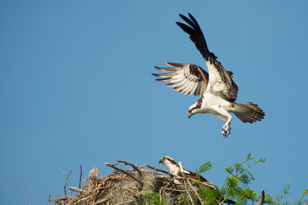 Osprey Landing by his mate - Atchafalaya Basin