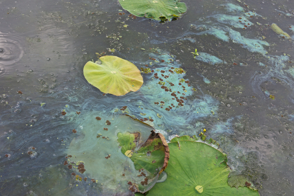 Suspected Blue Green Algae–Millers Lake
