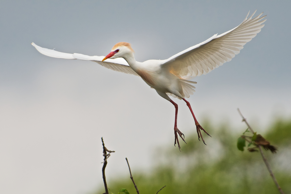 Cattle Egret Hovering