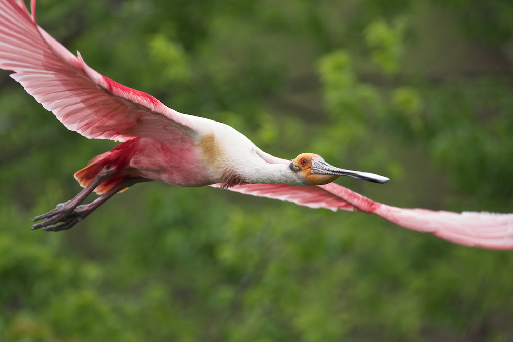 Roseate Spoonbill in Flight–Jefferson Island