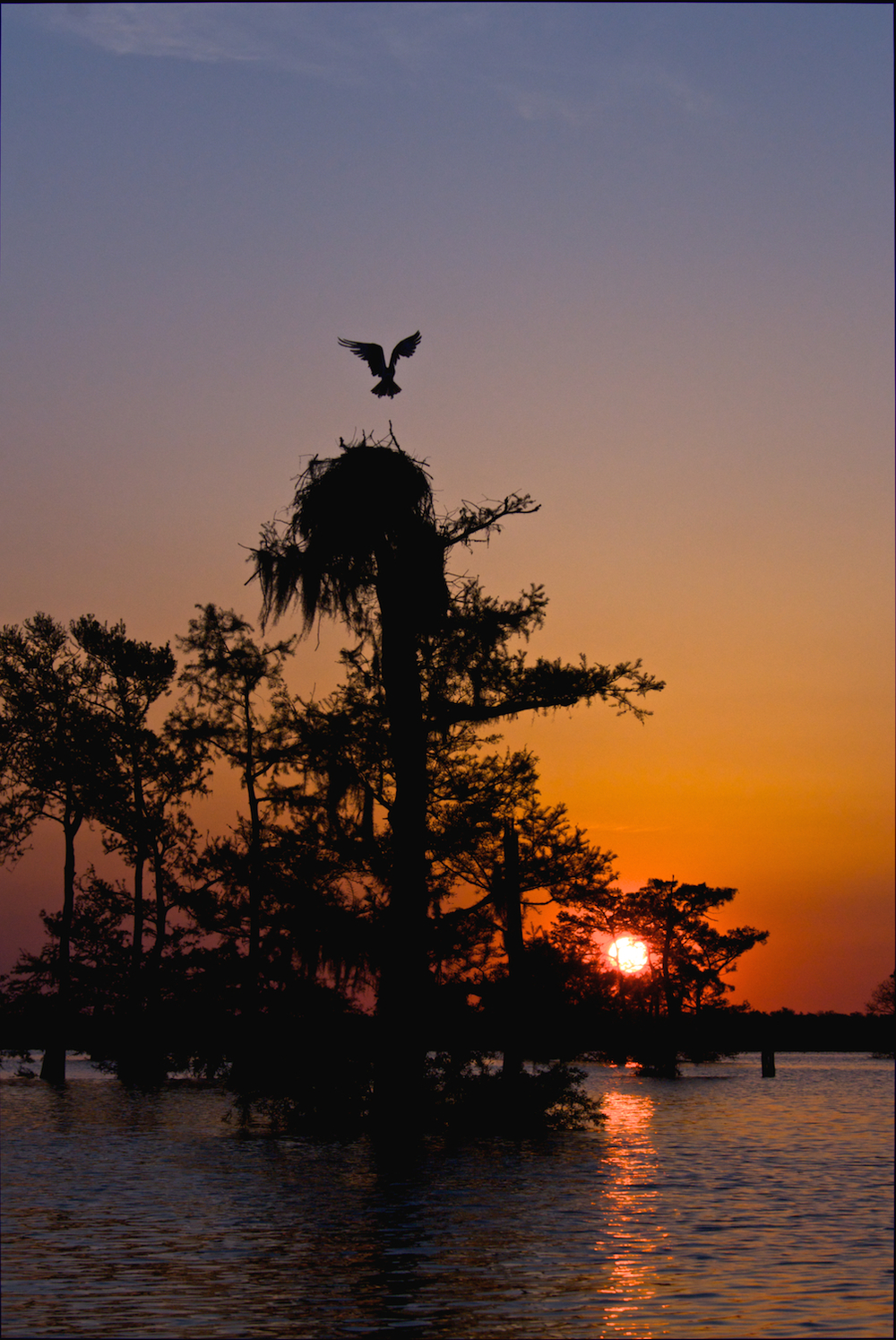 Osprey Landing at Sunrise