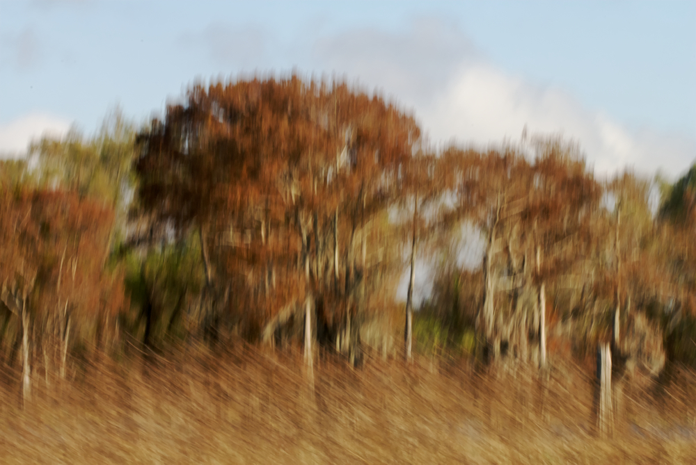 Fall Cypress - Motion Blurr