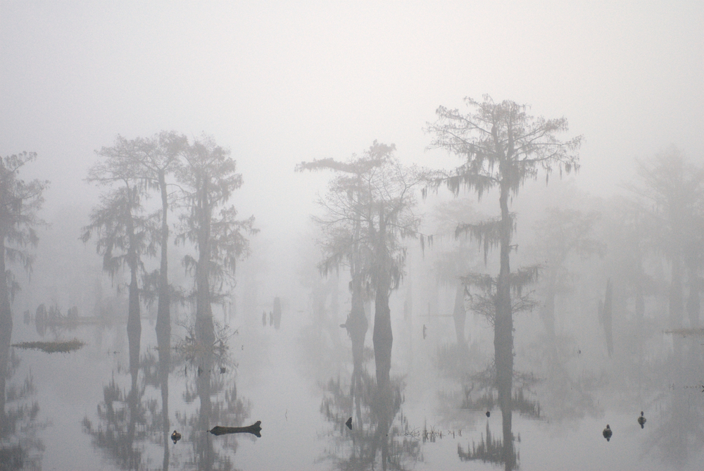 Foggy Fall Cypress Scene