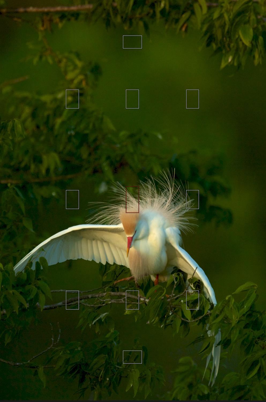Cattle Egret - Courtship Display