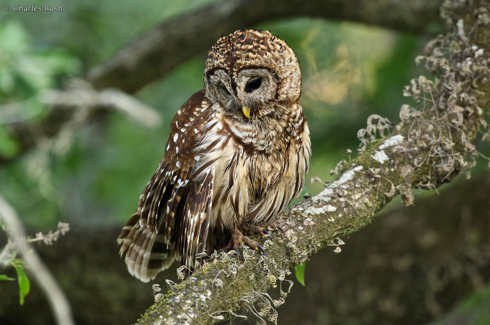 Barred Owl Along the Road at Lake Martin