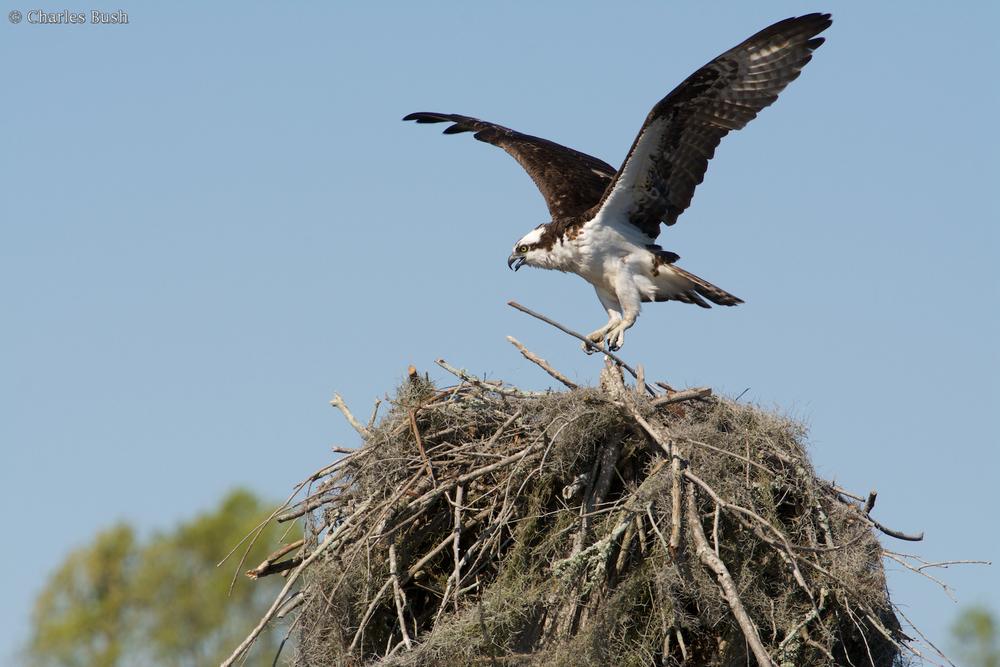 Osprey bringing Stick to the Nest