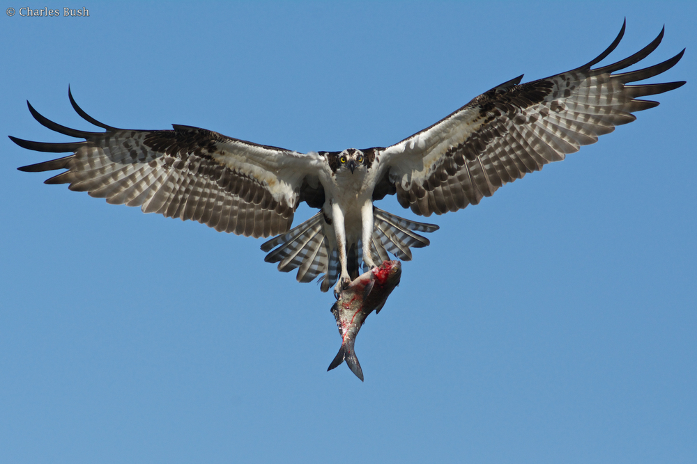 Osprey with Fish - Henderson
