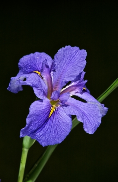 Flash lit Iris