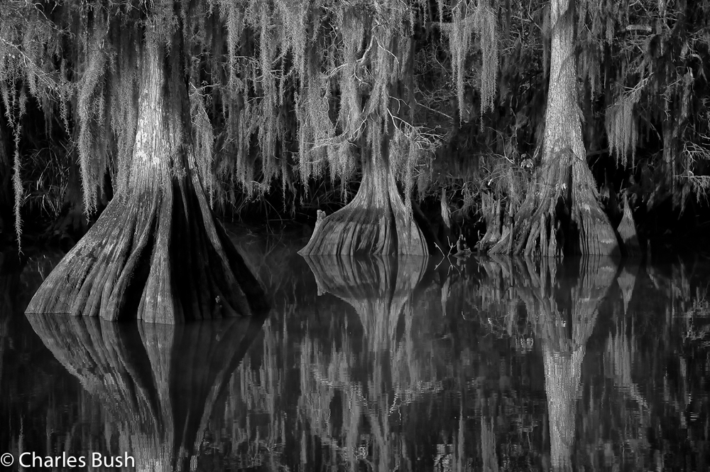 Cypress Trees – Atchafalaya Basin, Lake Dautreve, Louisiana