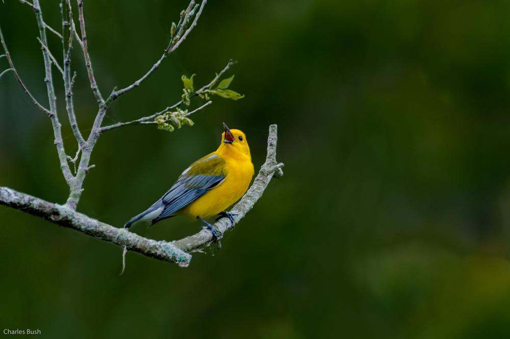 Prothonotary Warbler Lake Martin