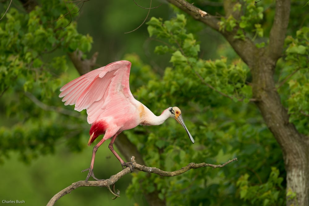 Roseate Spoonbill Jefferson Island April 2015