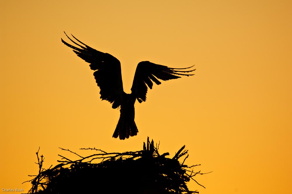 Osprey in Silhouette