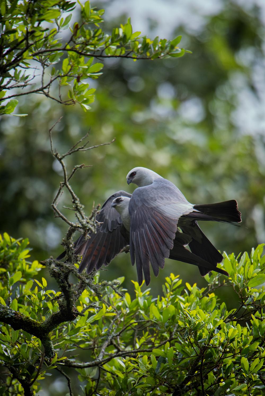 Mississippi Kites Mating - Bois Des Chenes B&B