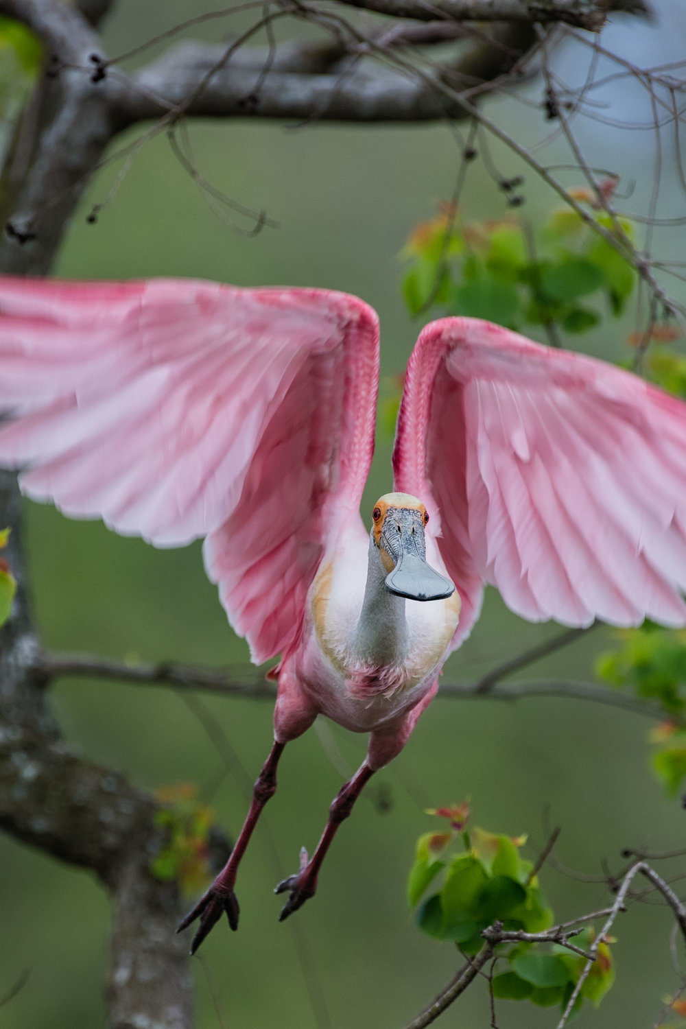 Roseate Spoonbill Taking Flight–Jefferson Island March 2017
