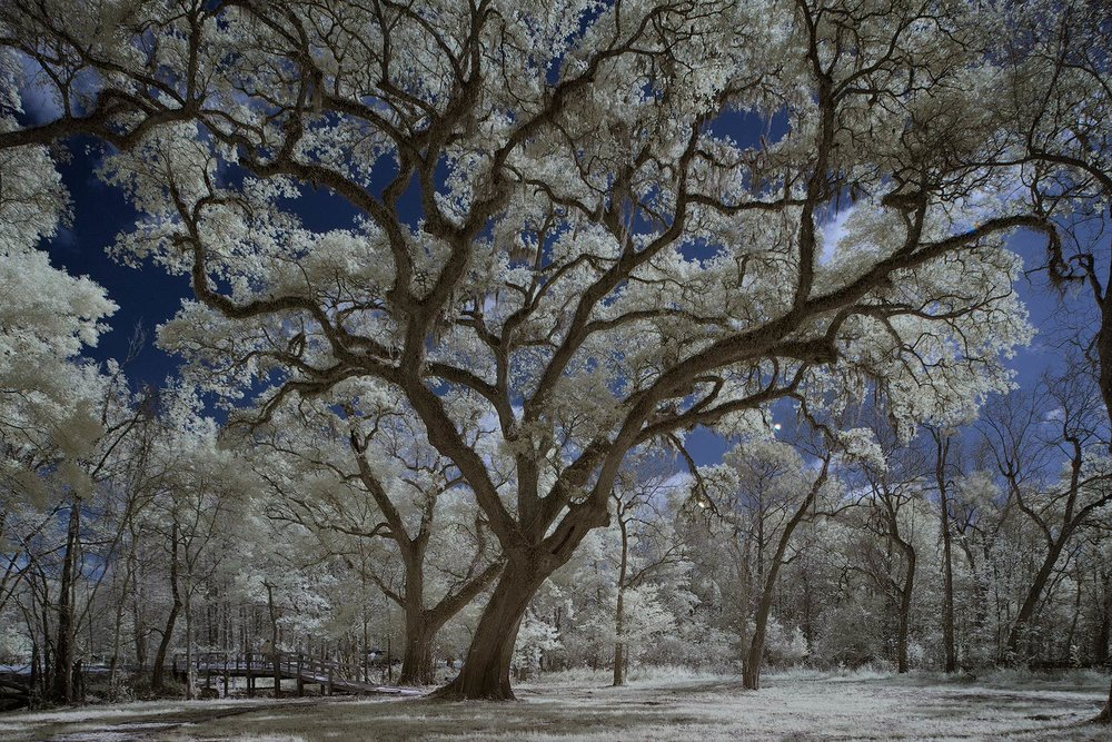 Infrared Image of an Oak