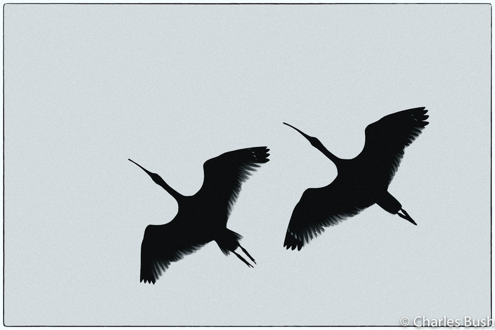 Silhouette of Ibis in Flight