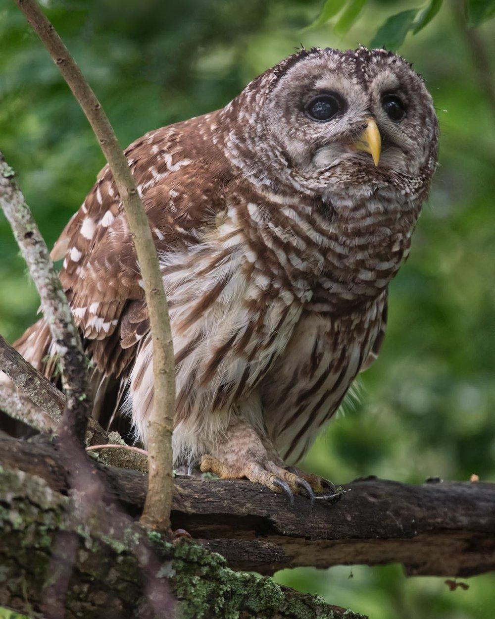 Barred Owl–Atchafalaya Basin