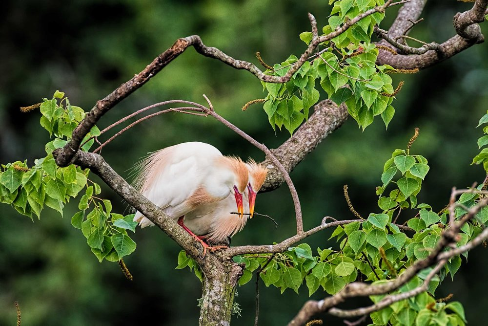 Cattle Egret Couple Building the Nest