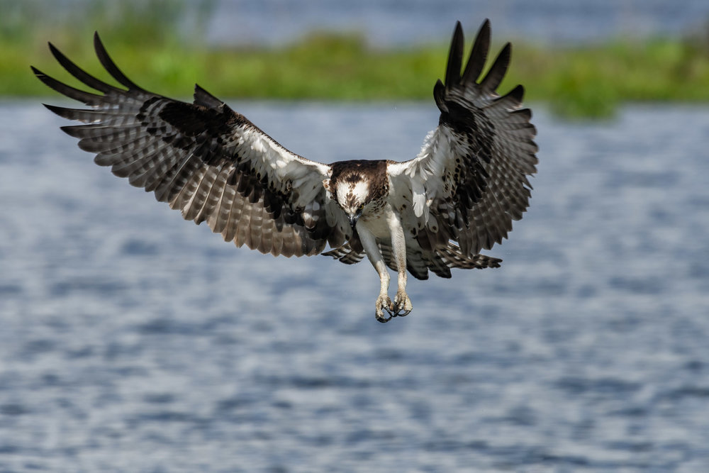 Osprey in Flight Cow Island Lake