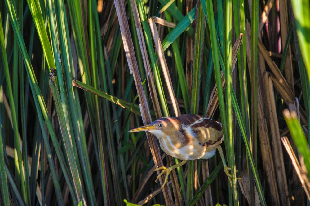 Least Bittern Miller's Lake