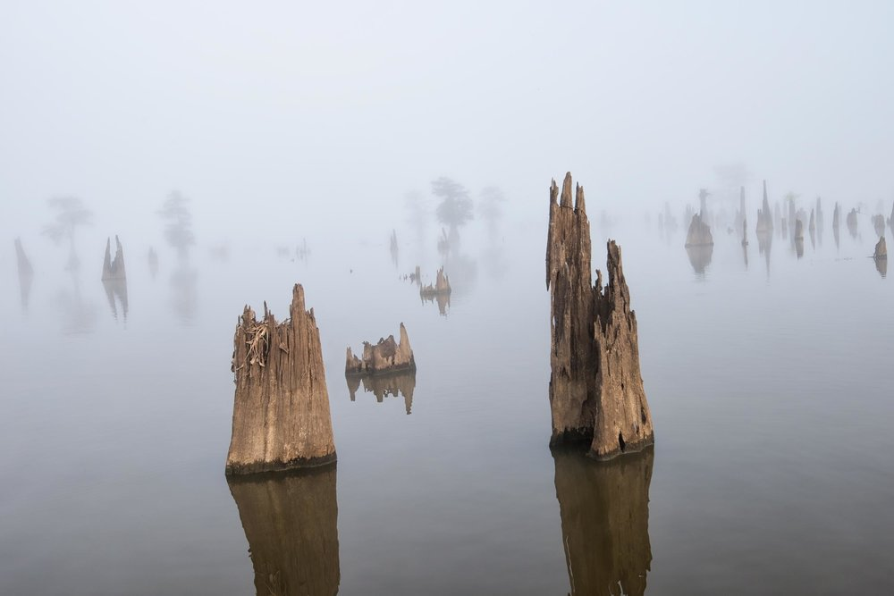 Cypress Stumps in Henderson Swamp Louisiana on a very foggy morn