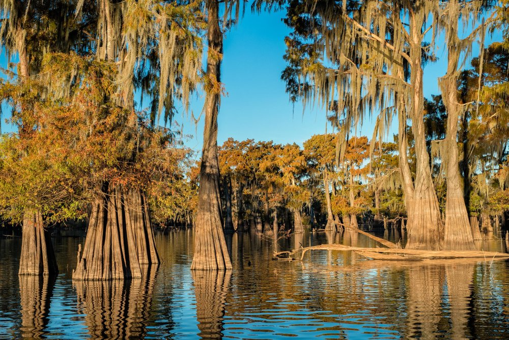 Cypress trees growing in the waters of Henderson Swamp with fall colors. B;ue Sky Sunny day - Vertical Panorama