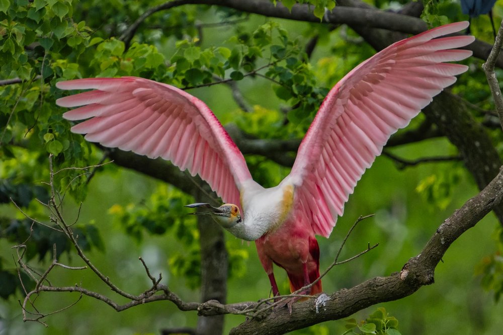 Aggressive Roseate Spoonbill Defending his Turf Rip's Rookery Jefferson Island