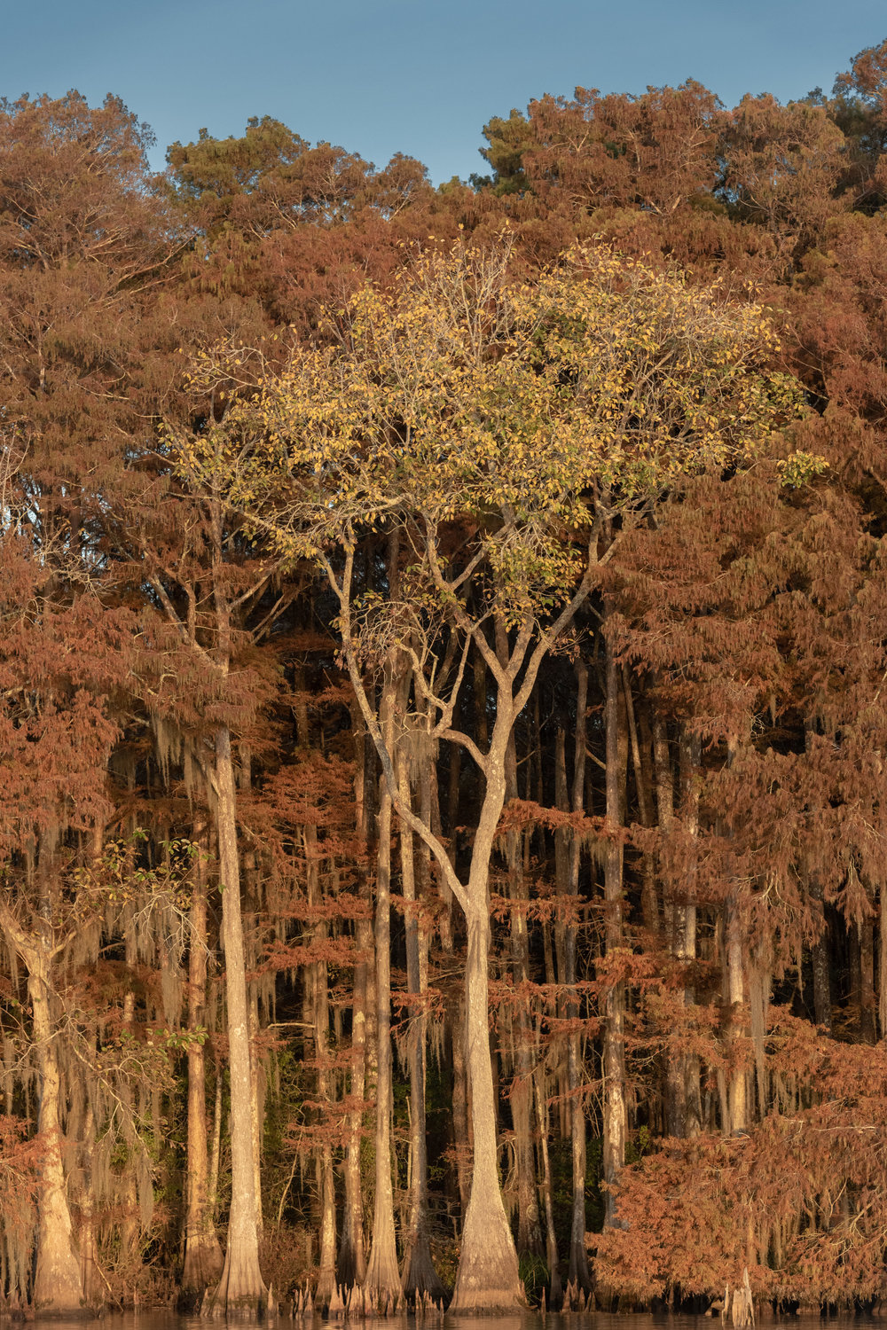 Tupelo and Cypress Fall Scene