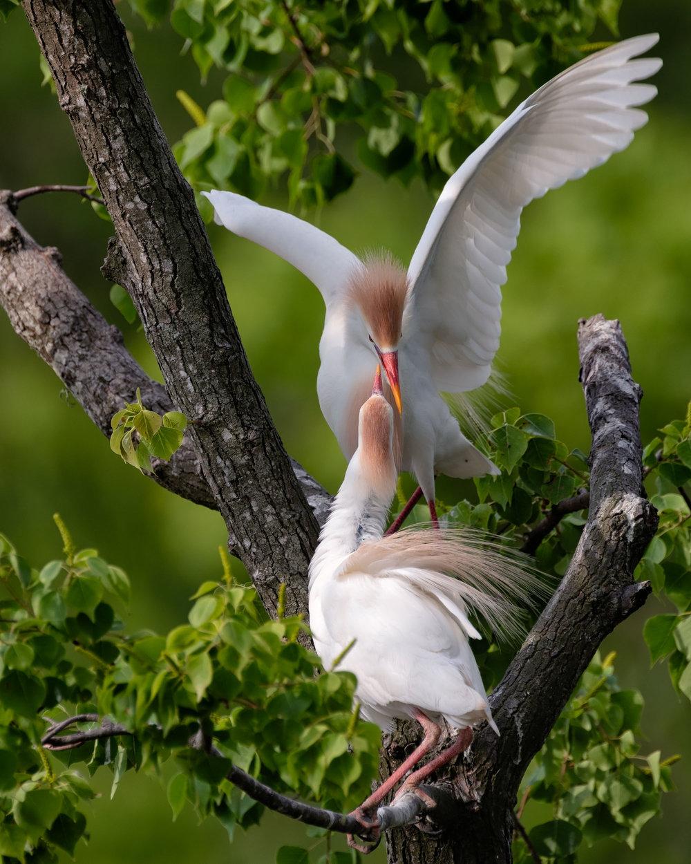 Cattle Egret Courtship