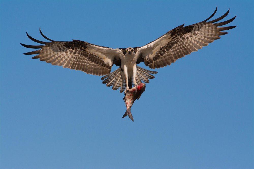 An Osprey Bringing a Fish to the Nest
