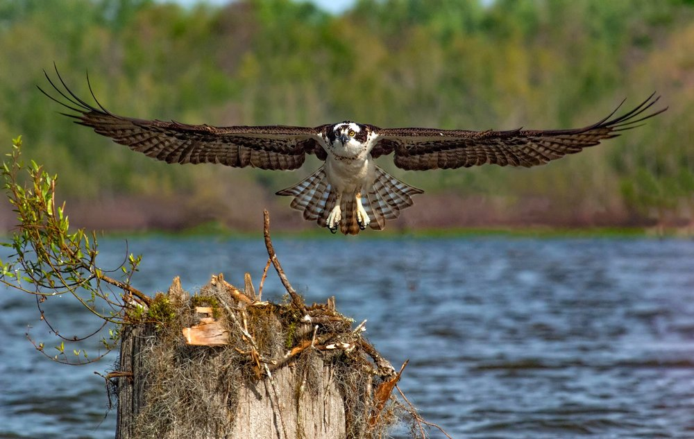Osprey from Photo Blind
