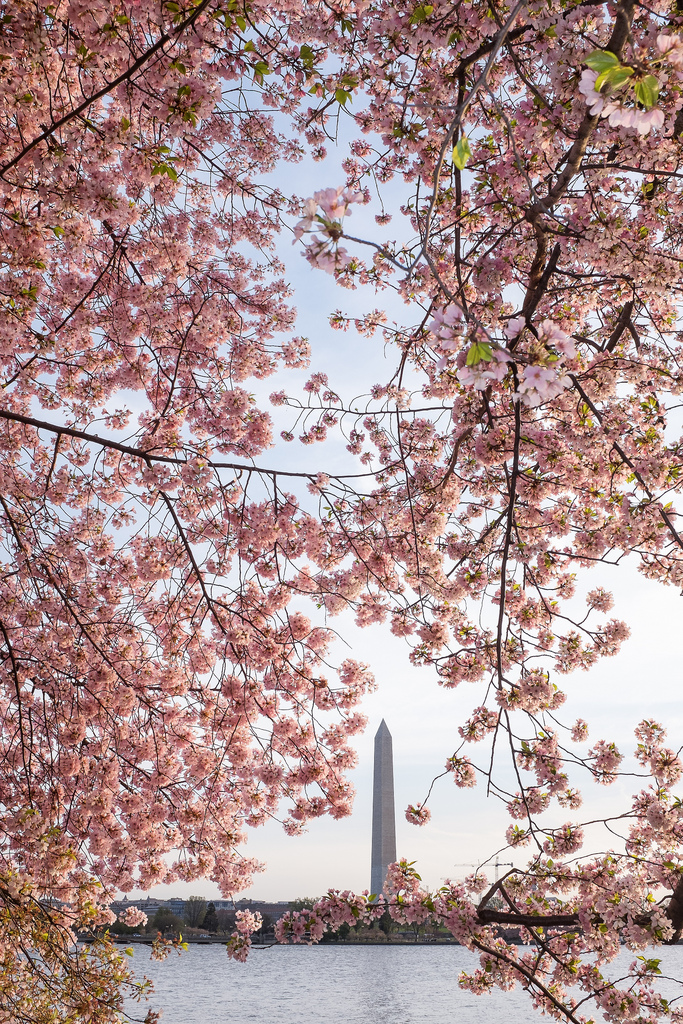 """Cherry Blossom Festival""  April 2014   , Washington, DC   Fujifilm X100s, 23mm, f/11, 1/35, ISO 800   Even though I lived in the DC area for most of my life, I never actually made it to the Cherry Blossom Festival during its peak. This year, a visit home was timed perfectly to catch ""peak bloom."" I arrived at the Tidal Basin before sunrise along with dozens of other crazy photographers. I got  some great shots from the sunrise, but this one from a bit later in the morning is my favorite. When the early morning sun hit the cherry blossoms, the pinks just lit up."