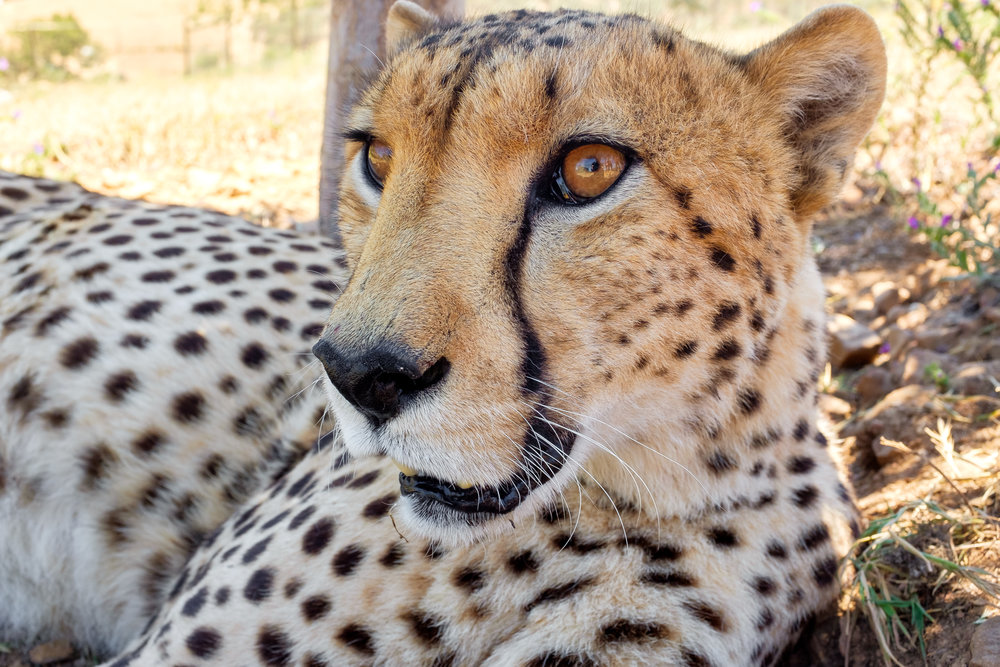 """Wide angle wildlife photography: Cheetah edition."" November 19,2017. Botriver, South Africa Fujifilm X100s, 23mm, f/8, 1/125, ISO 800"