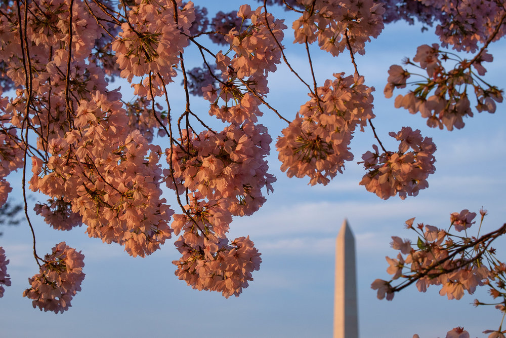 Cherry-Blossom-Festival-Washington-DC.jpg