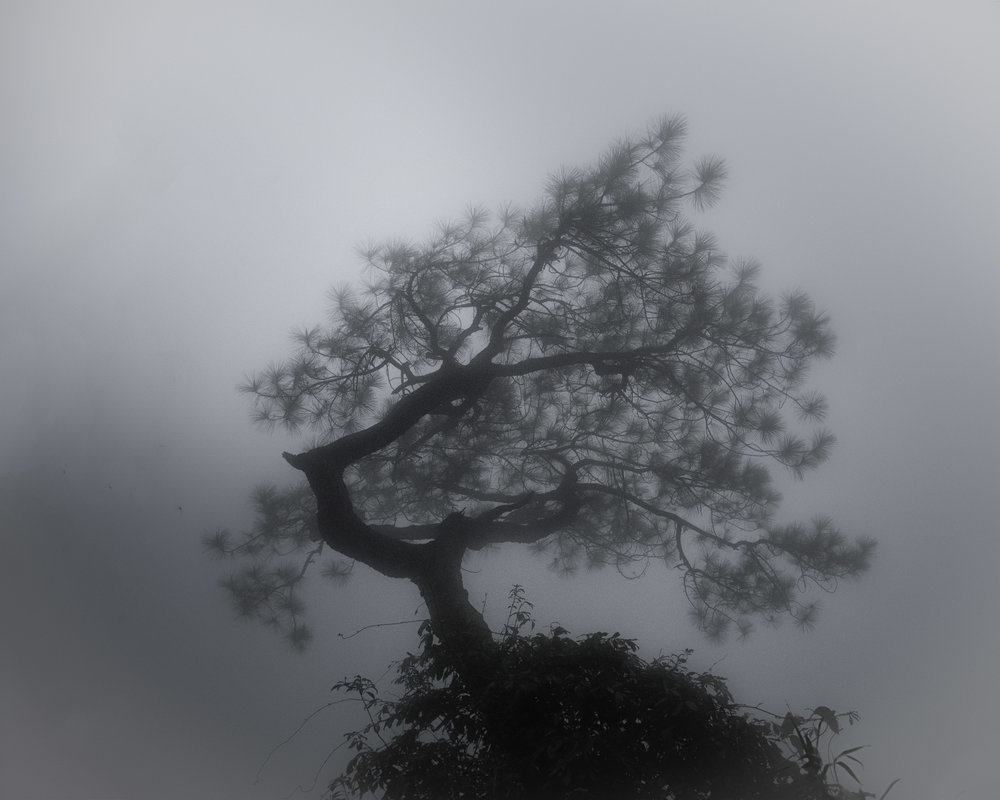 Tree in fog - shaped by the wind.