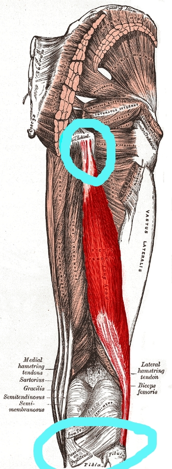 "This illustration only highlights the long head of the biceps femoris, one of your 3 hamstring muscles. The hamstrings originate at the ischial tuberosity (or ""sitz bone"") and insert at either the tibia or fibula."