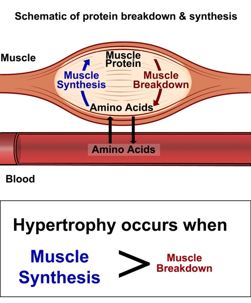 Muscle tissue is damaged during a tough training session and needs protein (amino acids) to repair and build new muscle, making post-workout nutrition important for lean muscle gain.