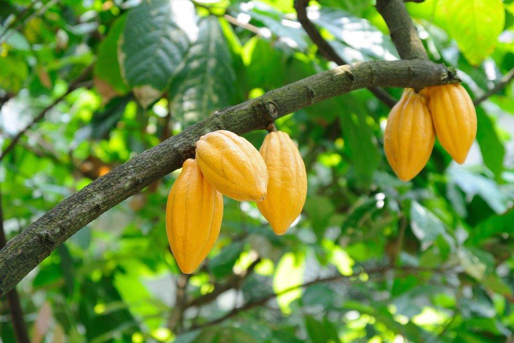 Website Cacao-1.jpg