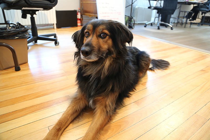 Les chiens au bureau