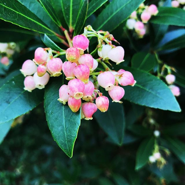 The Strawberry Tree, aka Arbutus unedo. These beautiful little flowers will turn into strawberry-like fruits.