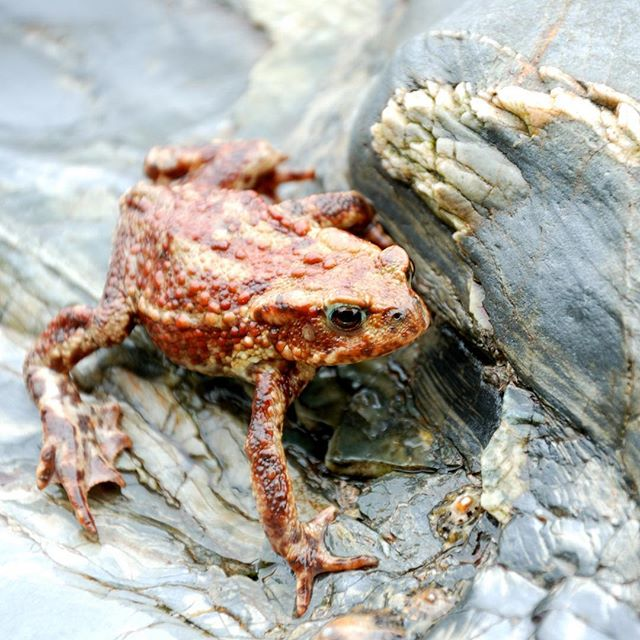 A little beach toad we found at Trebah a while back. We thought he was a frog at first because of his size!