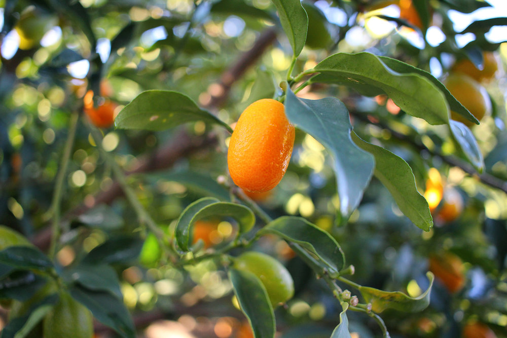 Kumquats were just one fruit variety growing in the backyard of Nir's family home. Photography by Geena Matuson (@geenamatuson) and Itamar Mizrahi, December 2016.