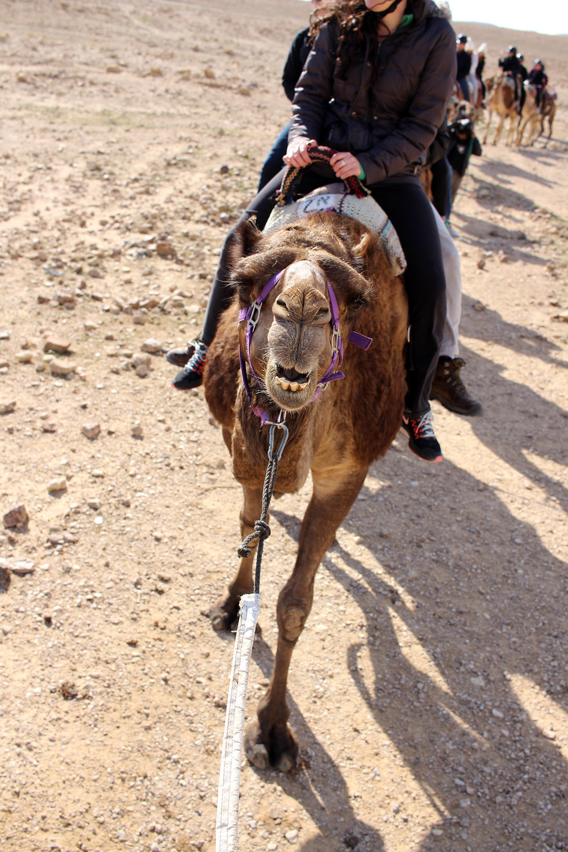 Group camel ride through Israel's Negev Desert with Shorashim #Bus636, December 2016.