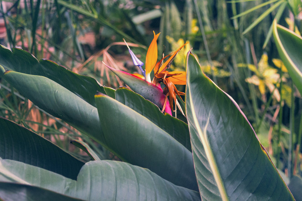 Birds of Paradise in Rishon LeZion, Israel. #Travel photography by Geena Matuson @geenamatuson #thegirlmirage.