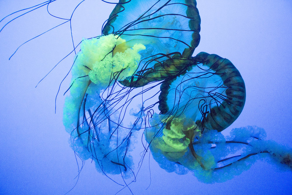 Jellyfish photography at the Ripley's Aquarium of the Smokies by Geena Matuson @geenamatuson #thegirlmirage, March 2018.