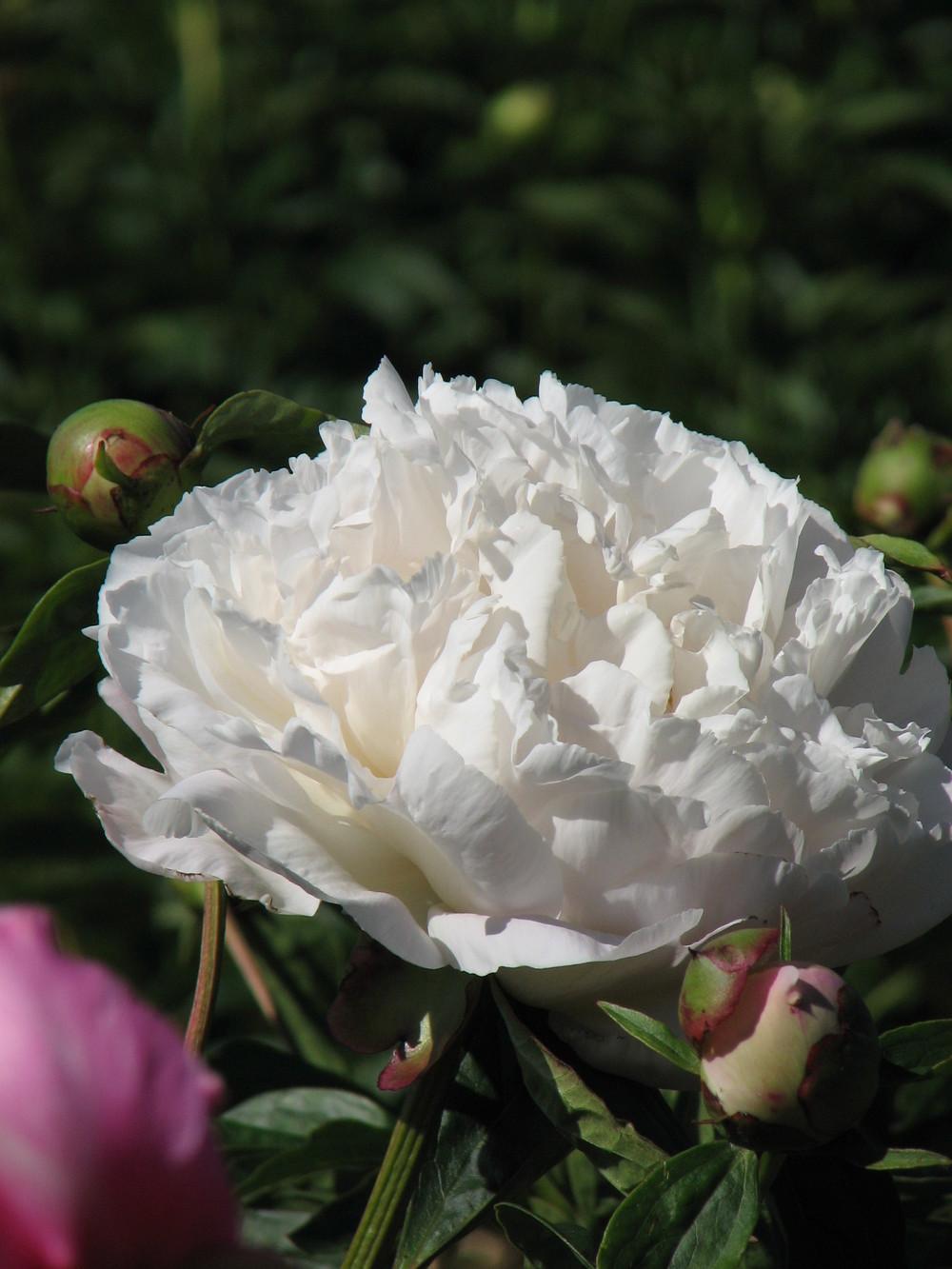 gardenia3 thumb.jpg