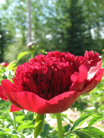 red charm (2) thumb.jpg