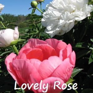 lovely rose.jpg