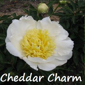 cheddar charm.jpg