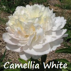 camellia white.jpg